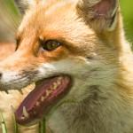 FOX BAITS